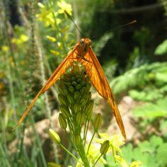 Butterfly, AZ, USA