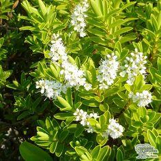 Buy Hebe rakaiensis (Shrubby Veronica) online from Jacksons Nurseries Globe Flower, Dwarf Shrubs, Colour Pallete, Deco, About Uk, Veronica, Nursery, Herbs, Flowers