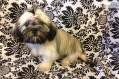 Shih Tzu Puppy for Sale: AKC Snowy Blue Cream Girl Vera Wang - 6f20897e-6f71