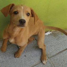 Doação de CÃO em SP-São Paulo, nina - Fêmea - Porte: Medio (Idade: 7 a 11 meses)