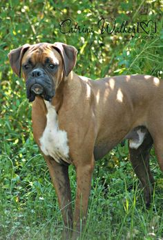 The Beautiful Boxer dog