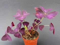 Oxalis Triangularis, Bonsai, Flora, Plants, Gardening, Lawn And Garden, Plant, Planets, Horticulture