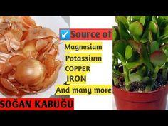 Sakın Soğan Kabuğunu Çöpe Atmayın ( Don't throw away the onion peels) - YouTube Onion, Home And Garden, Make It Yourself, Plants, Youtube, Onions, Plant, Youtubers, Youtube Movies