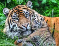 The Sumatran tiger (Panthera tigris sumatrae), from Indonesia. Only 300-400 individuals remain in the wild. Photograph: Ralph Dickinson/Biaza Beautiful Cats, Animals Beautiful, Pretty Animals, Adorable Animals, Big Cats, Cats And Kittens, Siamese Cats, Kitty Cats, Amur Leopard