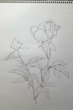 Peony Drawing, Floral Drawing, Watercolor Drawing, Watercolor Flowers, Cool Art Drawings, Realistic Drawings, Botanical Drawings, Botanical Art, Peony Illustration