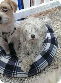 Thousand Oaks, CA - Maltese/Poodle (Miniature) Mix. Meet Carter, a dog for adoption. http://www.adoptapet.com/pet/13097636-thousand-oaks-california-maltese-mix