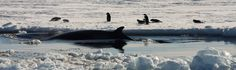 Caught a lovely picture of an orca whale swimming through the cold waters of the Antarctica  ©Tbickford