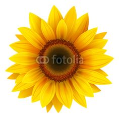 Sunflower Isolated, Vector...This wall decal JUMPS off the wall..Amazing color and beautiful pattern..