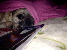 Berkeley-Quinn 🐾🐾 Pug Love, Doggies, Pugs, French Bulldog, Cute Animals, Live, Gifts, Little Puppies, Pretty Animals