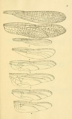 British libellulinae, or, Dragon flies : - Biodiversity Heritage Library Dragonfly Illustration, Dragonfly Drawing, Wings Drawing, Dragonfly Art, Botanical Illustration, Illustration Art, Dragonfly Images, Illustration Botanique, Insect Art