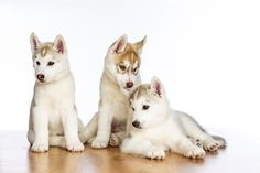 March 29, 2015 - A Study in White and Grey - Siberian Husky Puppies  2015@Barbara O'Brien Photography