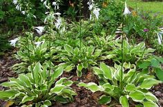 Up north, hosta is found in every garden, where the blooms attract hummingbirds. Now there's a hosta for the deep south too - SunHosta!