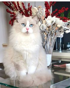 - toys clothes for adoption dog breeds dogs dogs a pet puppy puppies dog dog Cute Baby Cats, Kittens Cutest, Cats And Kittens, Most Beautiful Animals, Beautiful Cats, Ragdoll Cat Breed, Animals And Pets, Cute Animals, Himalayan Cat