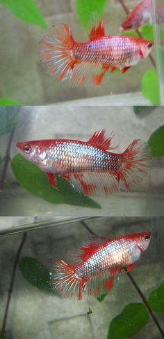 fwbettashm1404779156 - Female Fancy Dragon HM # 2