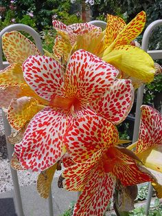 canna lilies | Canna Lily 'Monet Sunset' - Canna x generalis | Flickr - Photo Sharing ...