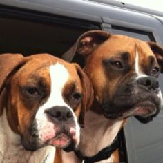 Boxer puppy love... That's my baby:)