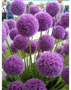 Alliums - Autumn Planting - Bulbs, plants and more - Large purple ball shaped flowers. Allium Giganteum has densely packed star shaped flowers, very tal - Allium Flowers, Bulb Flowers, Cactus Flower, Exotic Flowers, Plants With Purple Flowers, Yellow Roses, Tall Perennial Flowers, Pink Roses, Indoor Gardening