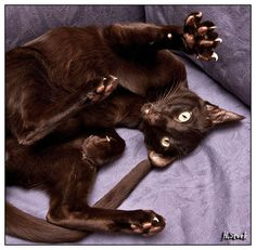 oriental havana cat *morganas cattery*