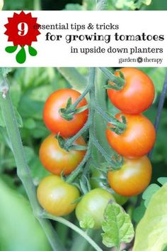Grow tomatoes upside-down successfully with these tips!
