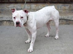 TO BE DESTROYED: 12/12/2014 Brooklyn Center-P My name is RUSTY. My Animal ID # is A0960217. I am a neutered male white and black staffordshire mix. The shelter thinks I am about 2 YEARS old. I came in the shelter as a OWNER SUR on 11/16/2014 from NY 10309, owner surrender reason stated was PETS CONFL.  https://www.facebook.com/Urgentdeathrowdogs/photos/a.611290788883804.1073741851.152876678058553/912754432070770/?type=3&theater