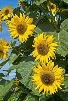 Four Smiling Sunflowers by Gary Grossman, via Flickr