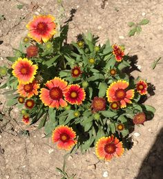 Arizona Sun perennial- LOVE!