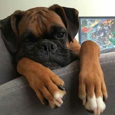 """Explore our internet site for more details on """"Boxer Puppies"""". It is a superb spot to get more information. Boxer And Baby, Boxer Love, Cute Puppies, Cute Dogs, Dogs And Puppies, Doggies, Animals And Pets, Baby Animals, Cute Animals"""