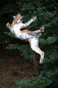bigcatkingdom: Banzai (by Cloudtail) - lynx I Love Cats, Big Cats, Cool Cats, Cats And Kittens, Siamese Cats, Nature Animals, Animals And Pets, Funny Animals, Cute Animals