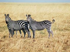 Tim Caro has spent 20 years trying to figure out why zebras have stripes. And he finally has an answer.