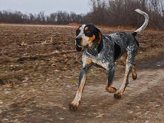 @Sheila -- @ tasteduds remind me of Traveler... Bluetick Coonhound
