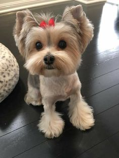 Yorkies, Yorkie Puppy, Cute Dogs And Puppies, Baby Dogs, Cute Dogs Breeds, Dog Breeds, Animals Beautiful, Cute Animals, Yorkie Haircuts