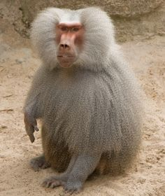 Hamadryas baboon (Papio hamadryas) is a species of baboon from the Old World monkey family. It is the northernmost of all the baboons; being native to the Horn of Africa and the southwestern tip of the Arabian Peninsula.