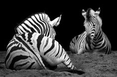 Black and White Animals Photography