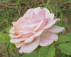 Rosa Sweet Juliet'