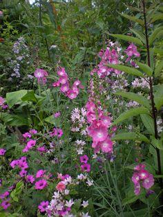 geranium patricia ,campanula loddon anna & sidalcea party girl