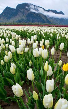 White Tulips, Tulips Flowers, Wild Flowers, Beautiful Flowers, Tulip Painting, Tulip Bulbs, Tulips Garden, Tulip Fields, Felder