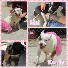 Help us save Mel and Kerrie! | Pet Expenses - YouCaring - Meet Mel & Kerrie. Mel is 6 mos old & Kerrie is 2 yrs old. They're both located at Chester County AC in South Carolina. We need your help to save them. Chester AC is overcrowded and a PTS date has been assigned for next week.The girls both love people and receiving affection from their humans! They have very outgoing personalities and love to play. Due to no fault of their own, they were not properly socialized & Need our Help.