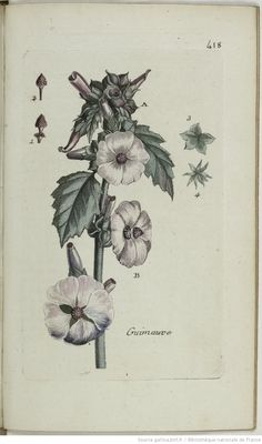 ALTHÆA - Althæa officinalis. La guimauve / La vive marne
