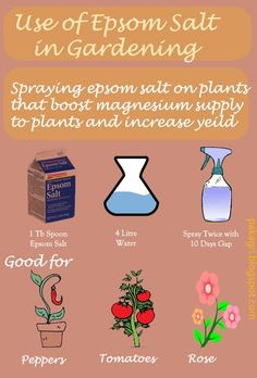 Spraying epsom salt on plants boosts magnesium supply to plants and increases yield. Spraying 1 table spoon of epsom salt mix with 4 litre of water twice with 10 days gap could be used for good results.  Tomatoes, peppers and rose can benefit extraordinarily #garden #plant