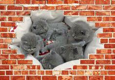 BKH Kitten in blue suchen ein neues Zuhause