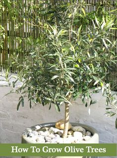 To Grow Olive Trees - In Your Backyard Or Containers. To Grow Olive Trees - In Your Backyard Or Containers.To Grow Olive Trees - In Your Backyard Or Containers. Growing Olive Trees, Growing Fruit Trees, Growing Tree, Growing Plants, Potted Trees, Trees And Shrubs, Trees To Plant, Potted Olive Tree, Olive Plant