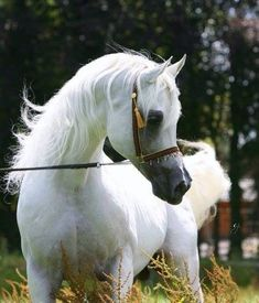 Arabisches Pferd - #arabisches #Pferd Appaloosa, Arabic Horse, Egyptian Arabian Horses, Majestic Horse, Photography Pics, Victoria, Classic, Beauty, Horses