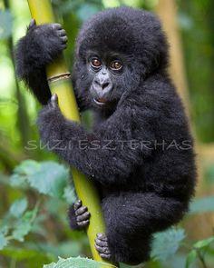 CUTE BABY GORILLA Photo- 8 X 10 Print - Baby Animal Photograph, Wildlife Photography, Wall Decor, Nursery Art, Jungle Zoo, Monkey, Green. $25.00, via Etsy.