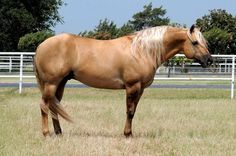 Quarter Horse stallion Hollywood Tinsel Town