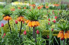 Scent Deterrent  Squirrels and deer can't stand the skunky gym socks smell of Fritillaria imperialis bulbs. Interplant these tall, dramatic flowers to ward them off and protect your other bulbs. Here, they are planted among tulips.