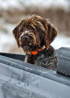 Hunting hound awaits release.