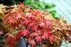 Acer, butchart Gardens BC Canada own photo