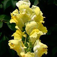 Snapdragons  Latin name: Antirrhinum majus  Zone 9-11