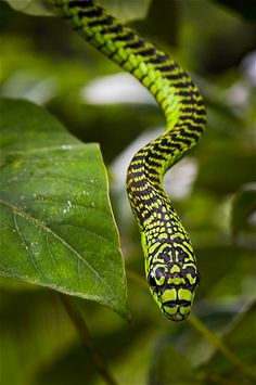 The boomslang reaches an average length of 5 feet and lives in the trees.