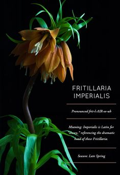 Flower Glossary: Fritillaria Imperialis  Commonly know as Kaiser's Crown or Crown Imperial;  they are dramatic, richly colored and look positively otherworldly when grouped en masse. Each flowering plant can grow up to three feet height, producing wonderfully dramatic blooms.  While their color is vibrant to behold, their is akin to skunkiness. If you plan to use them in an arrangement or display, be sure to warn recipients or keep them at a height or distance where the smell won't be a…